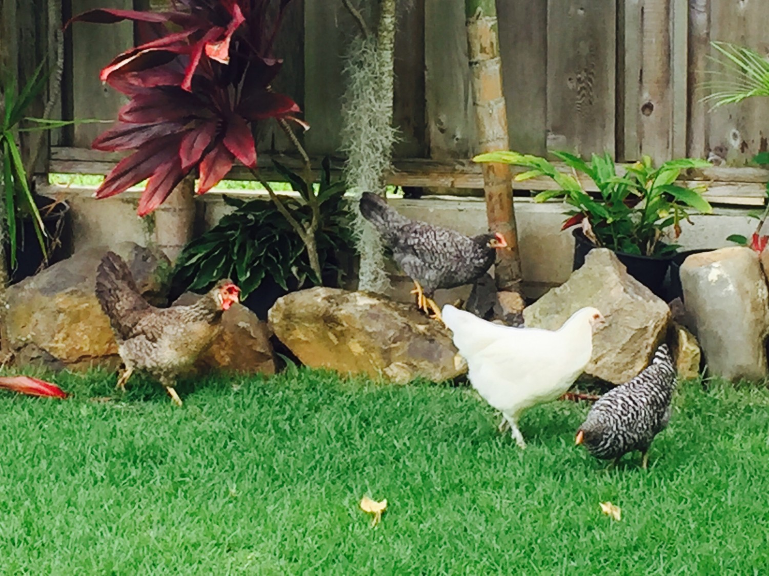 Dr. Dale's backyard Chickens in Kailua - Dale Veterinary Mobile Clinic