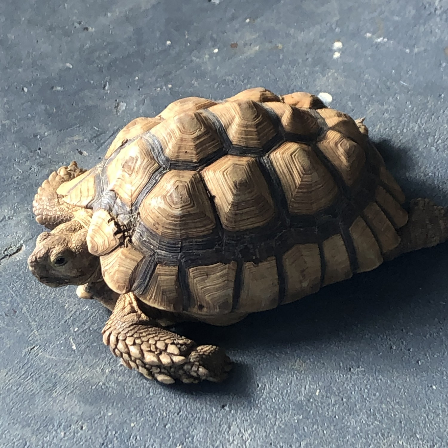 Dr. Dale's sulcata tortoise, Vic, on her lanai in Kailua - Dale Veterinary Mobile Clinic